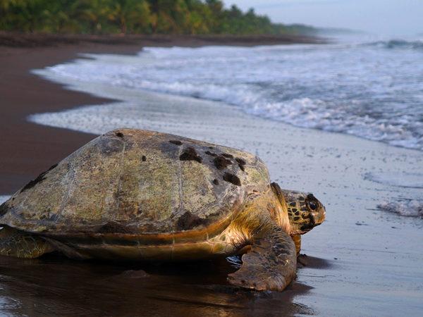 Turtle Watching Costa Rica